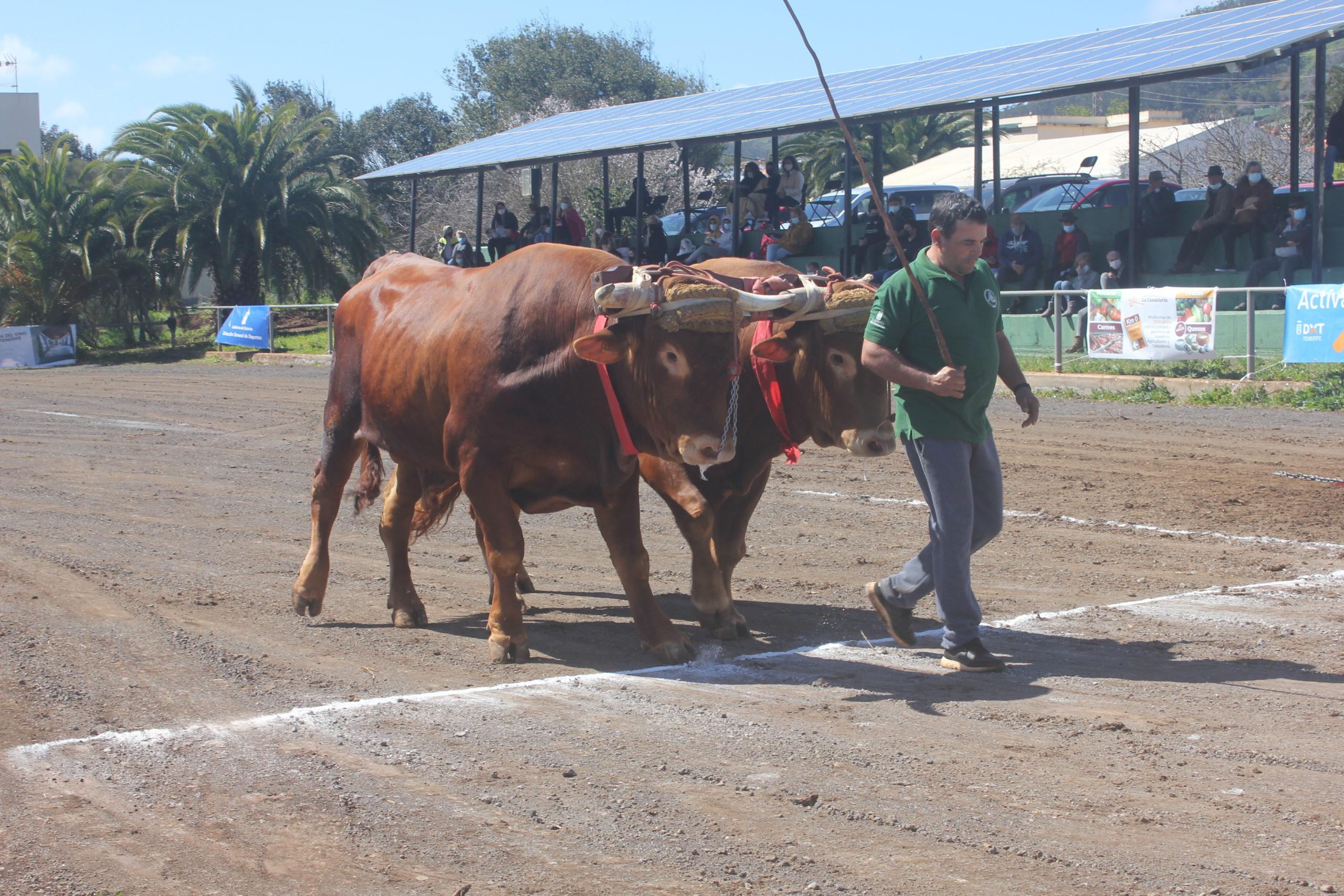 La Casa del Ganadero acoge la sexta prueba del Concurso de Arrastre Fundación Tenerife Rural